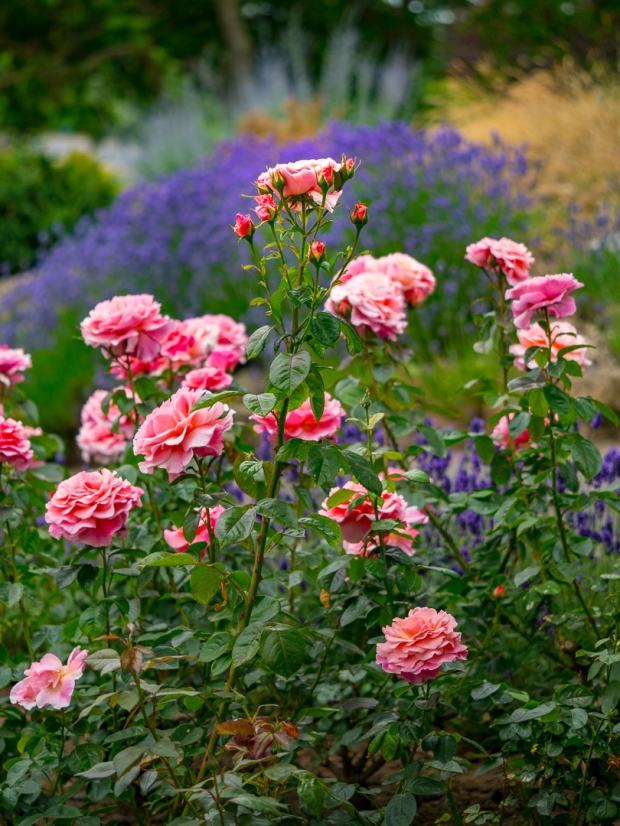 Photographs of roses surrounded by lavender