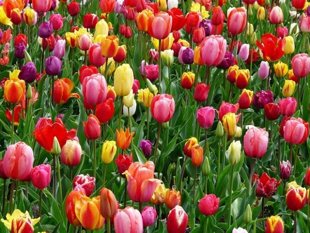 tulips-52125_640